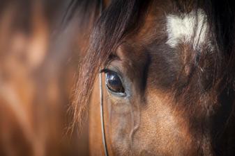 horseeyes